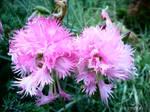 Spring Flower 2012 - 61