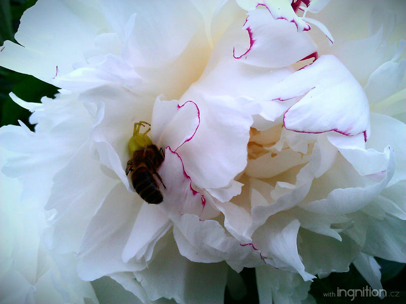 Spring Flower + Bee 2012 - 62 by Ingnition
