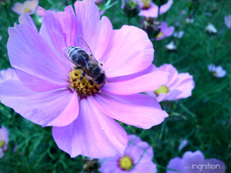 Summer Flower + Bee 2012 - 9 by Ingnition