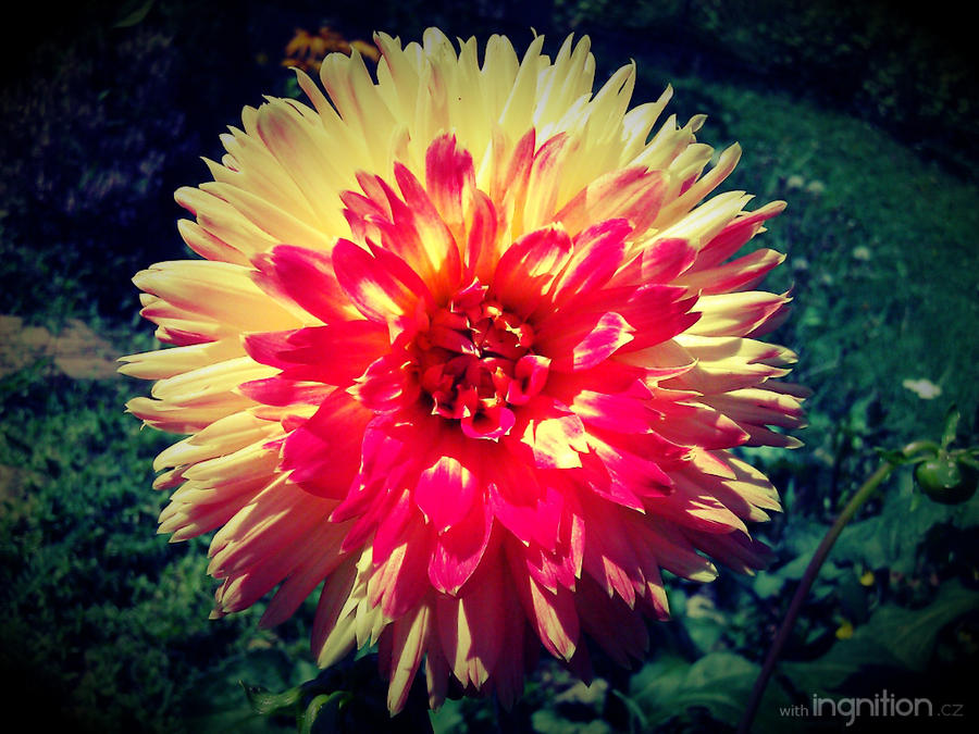 Summer Flower 2012 - 12 by Ingnition