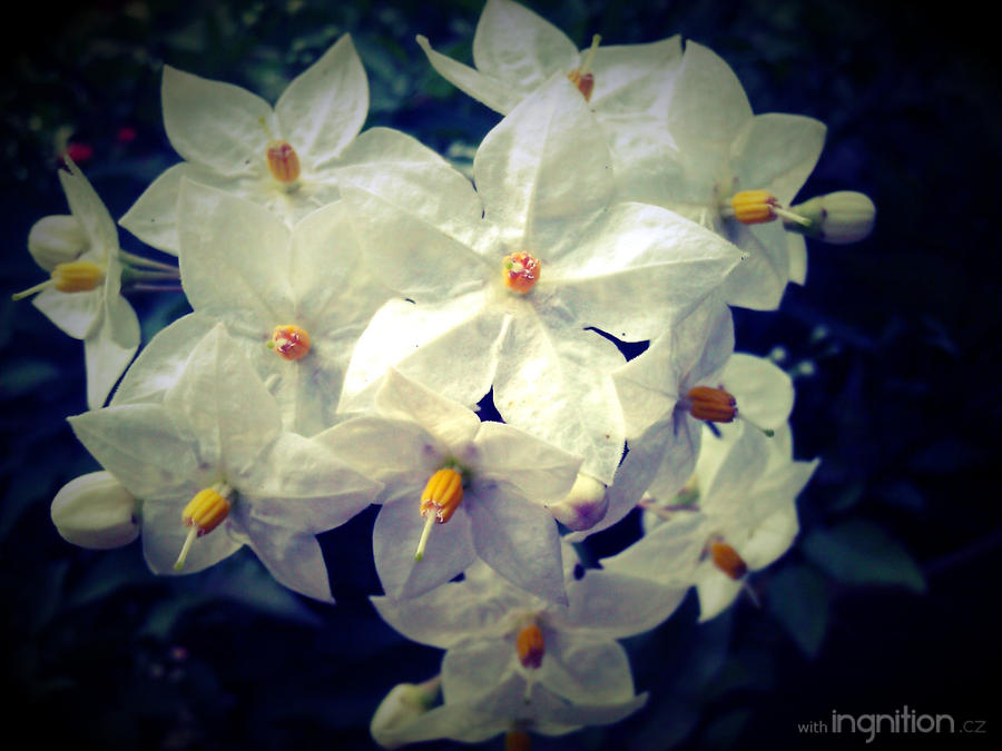 Summer Flower 2012 - 22 by Ingnition