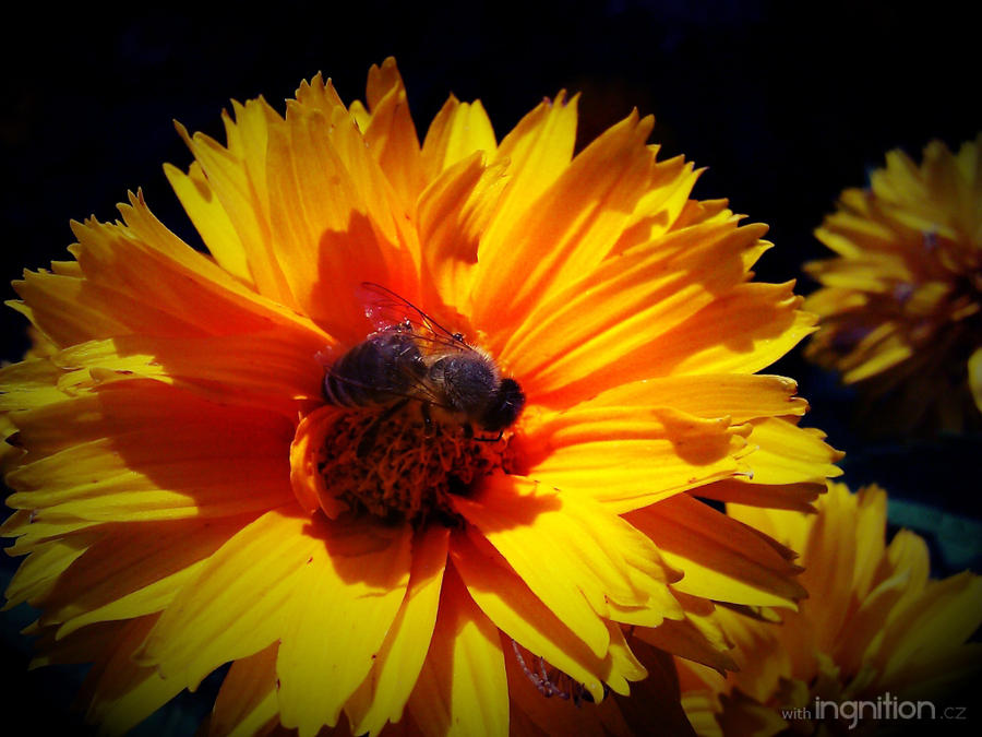 Summer Flower + Bee 2012 - 29 by Ingnition