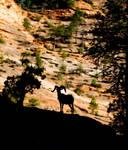 Desert Big Horn Sheep IV