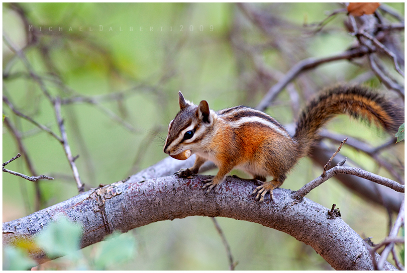 Chipmunk by michael-dalberti
