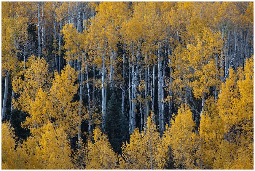 an Aspen Forest by michael-dalberti