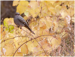 a Townsend's Solitaire by michael-dalberti