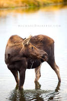 Cow Moose in Autumn by michael-dalberti