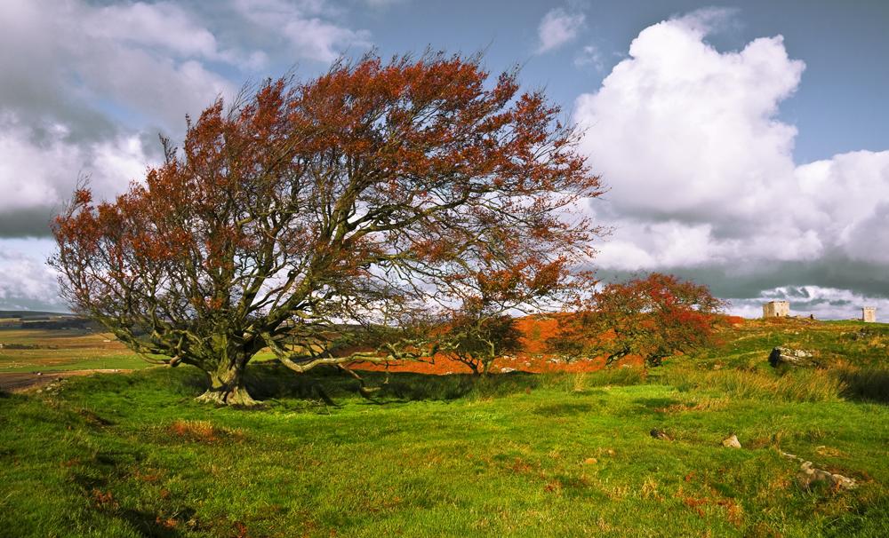 Northumberland Tree 5