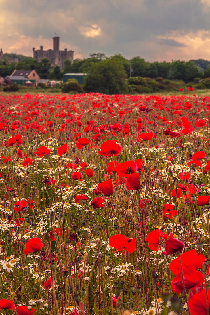 Poppy Field 2 by newcastlemale