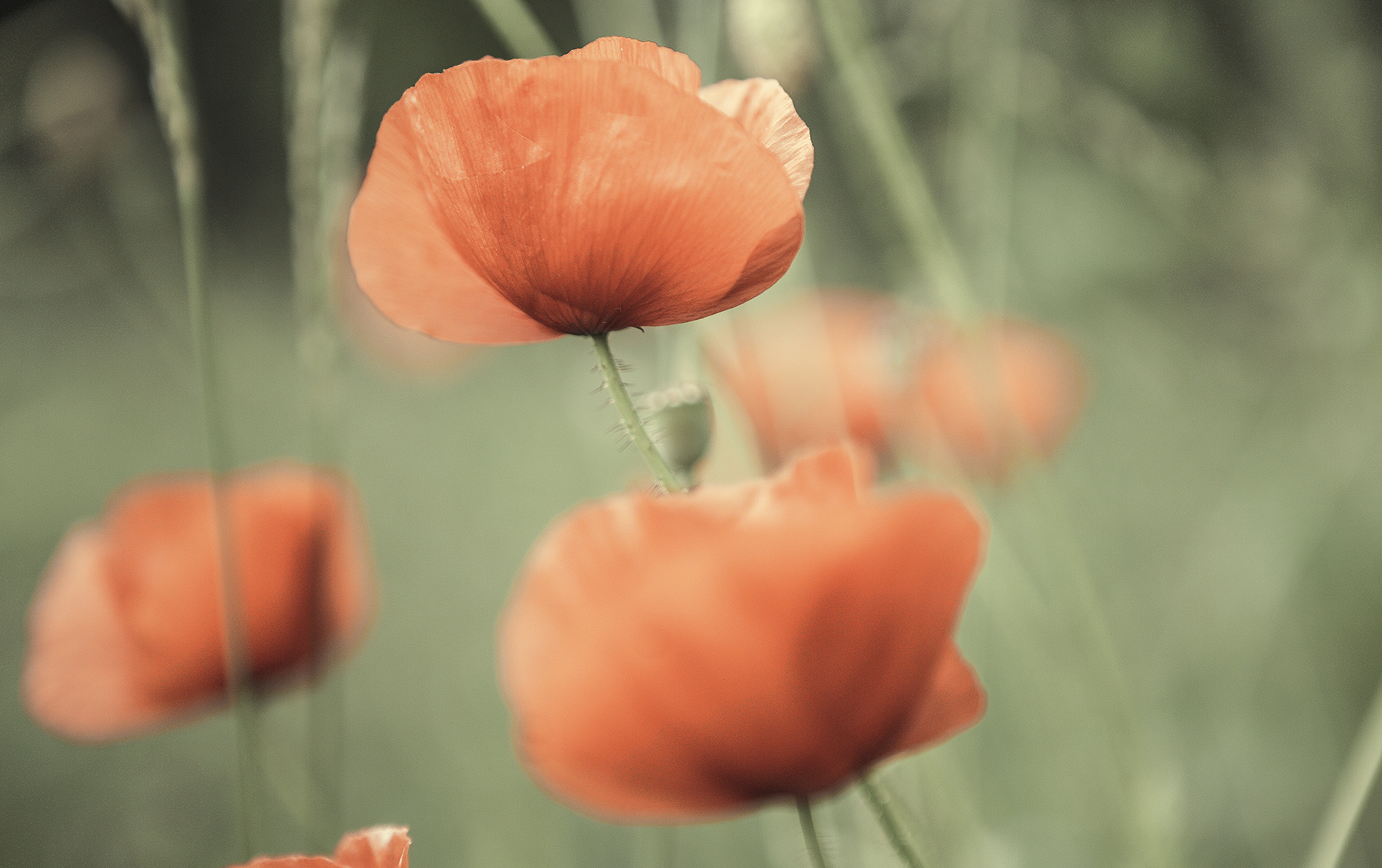 Poppies 2 by newcastlemale