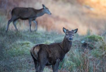 Glencoe Deer by newcastlemale