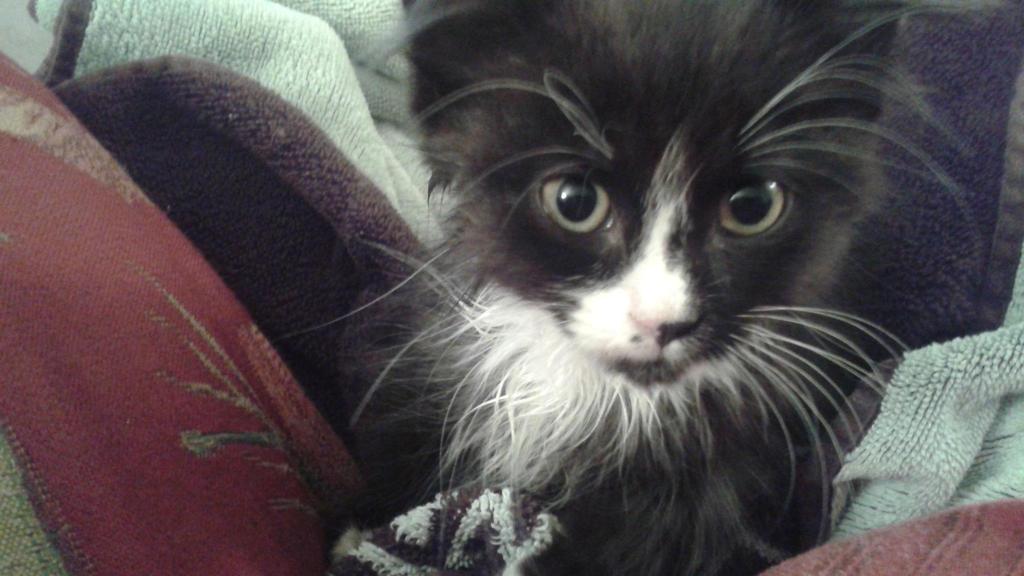 kitten Usagi 1 by Fairiegirl101