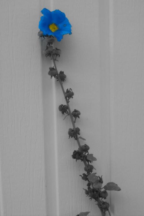 A blue petal. by MidnightClover