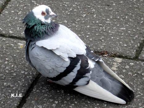 a cute pigeon