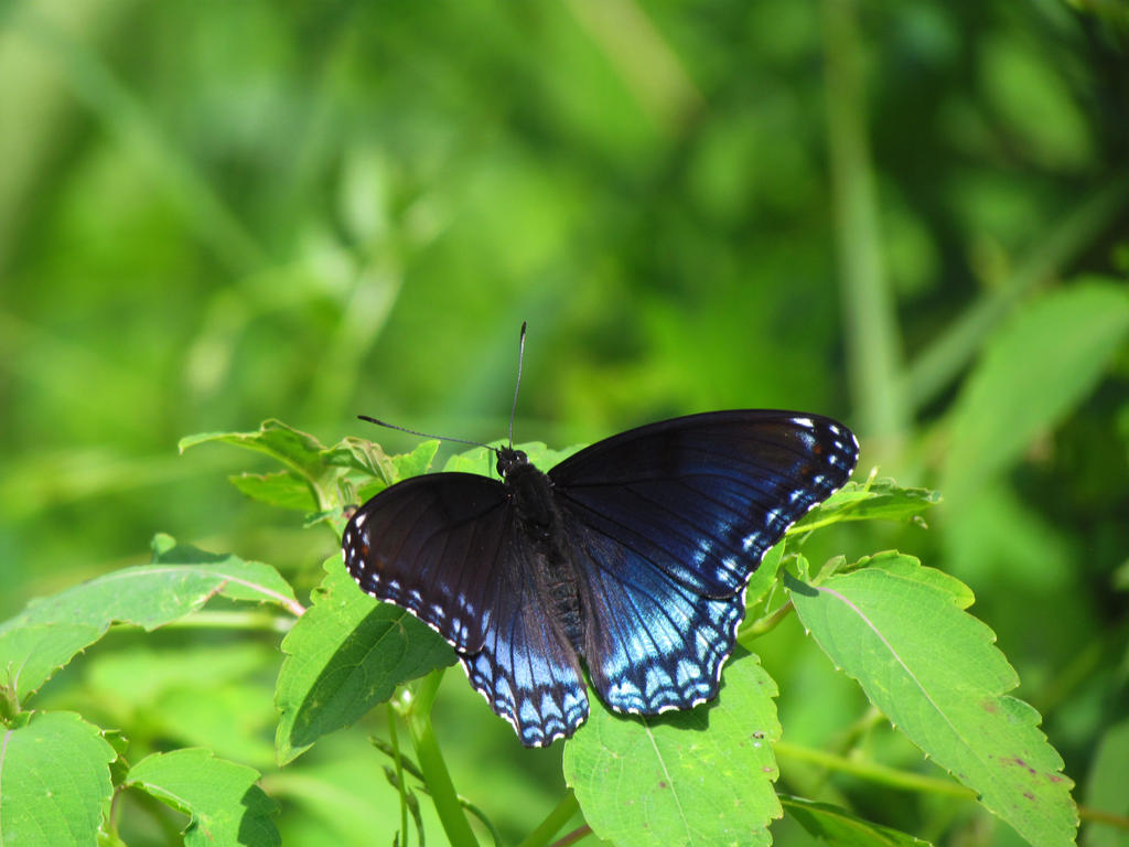 Red spotted Purple by Sam-Finch