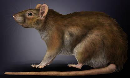 Rattus norvegicus.