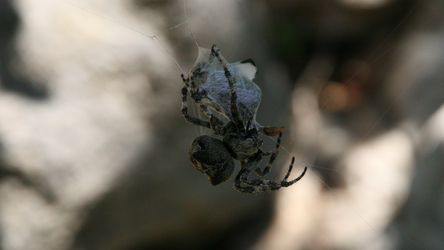 Spider tying up a beetle 1