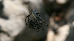 Spider tying up a beetle 2