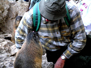 Talking to a  marmot