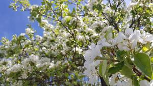 Flower show #3: Suesskirsche (Sweet cherry)