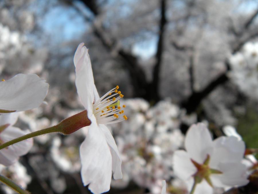 Blossom I by untitledharmony