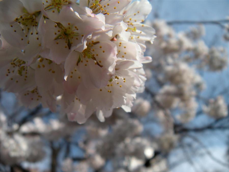 Blossom II by untitledharmony