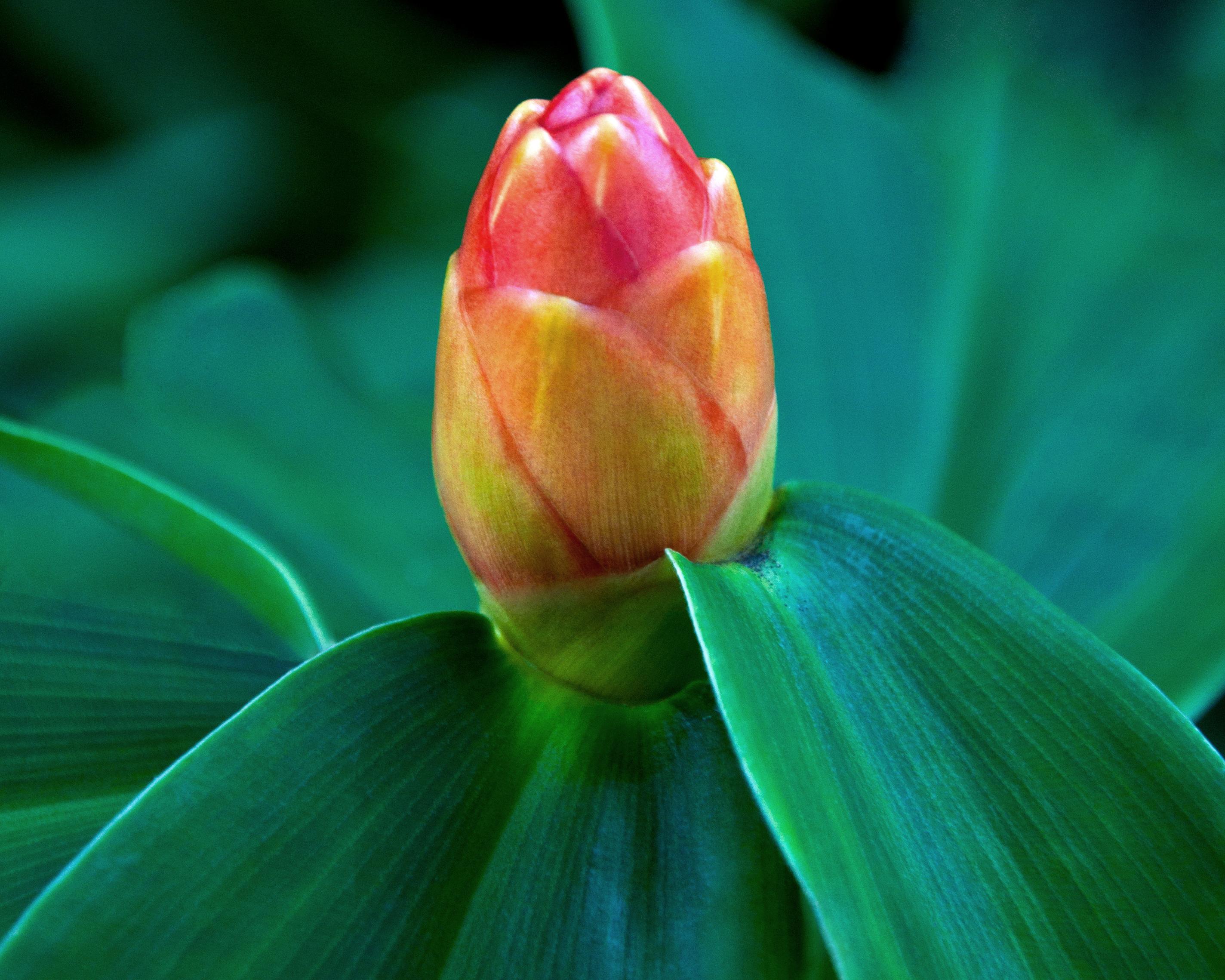 Flower Bud just before bloom by avyva on DeviantArt