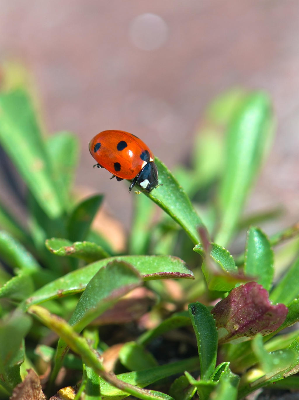 Ladybird Beetle right side by avyva
