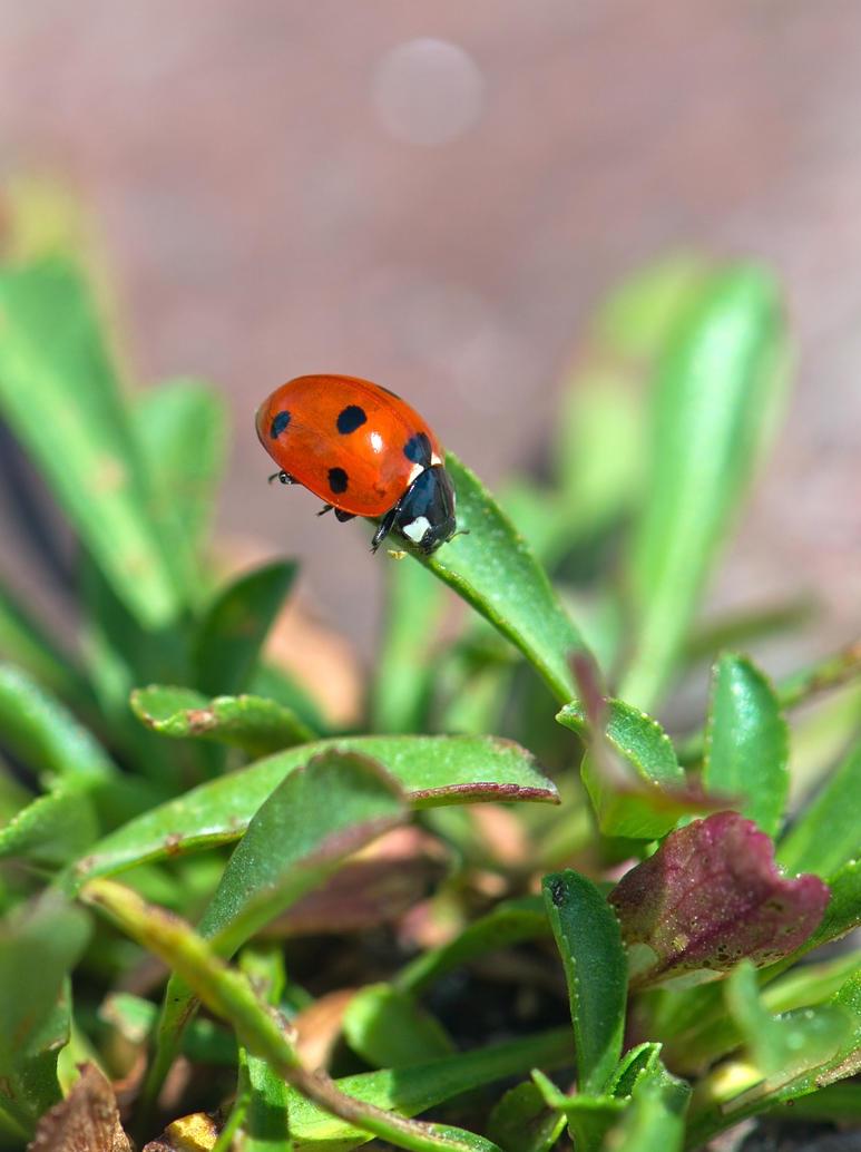 Ladybird Beetle right side by avyva