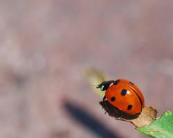 Ladybird Beetle left side