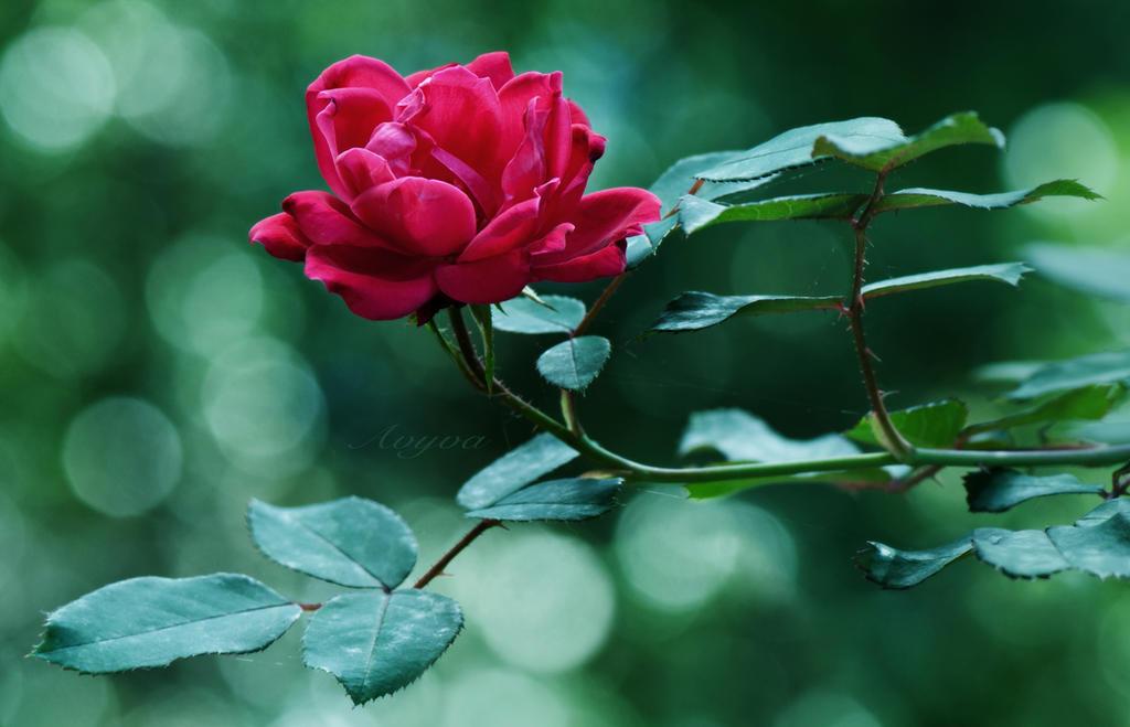 Red Rose by avyva