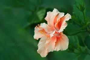Orange Hibiscus by avyva