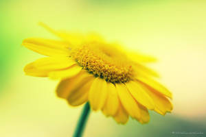 Yellow Daisy by WhiteChocolateCookie