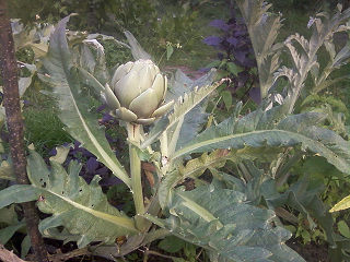 [Obrazek: artichoke_fruitoflower__p_by_ferreting-d7yeii3.png]