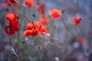 Poppies by aka-photography-uk