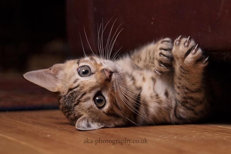 Bengal kitten by aka-photography-uk