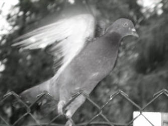 Pigeon - Takeoff by H-Lisa