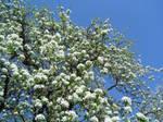 T.s.o.f.t. - Apple Blossoms