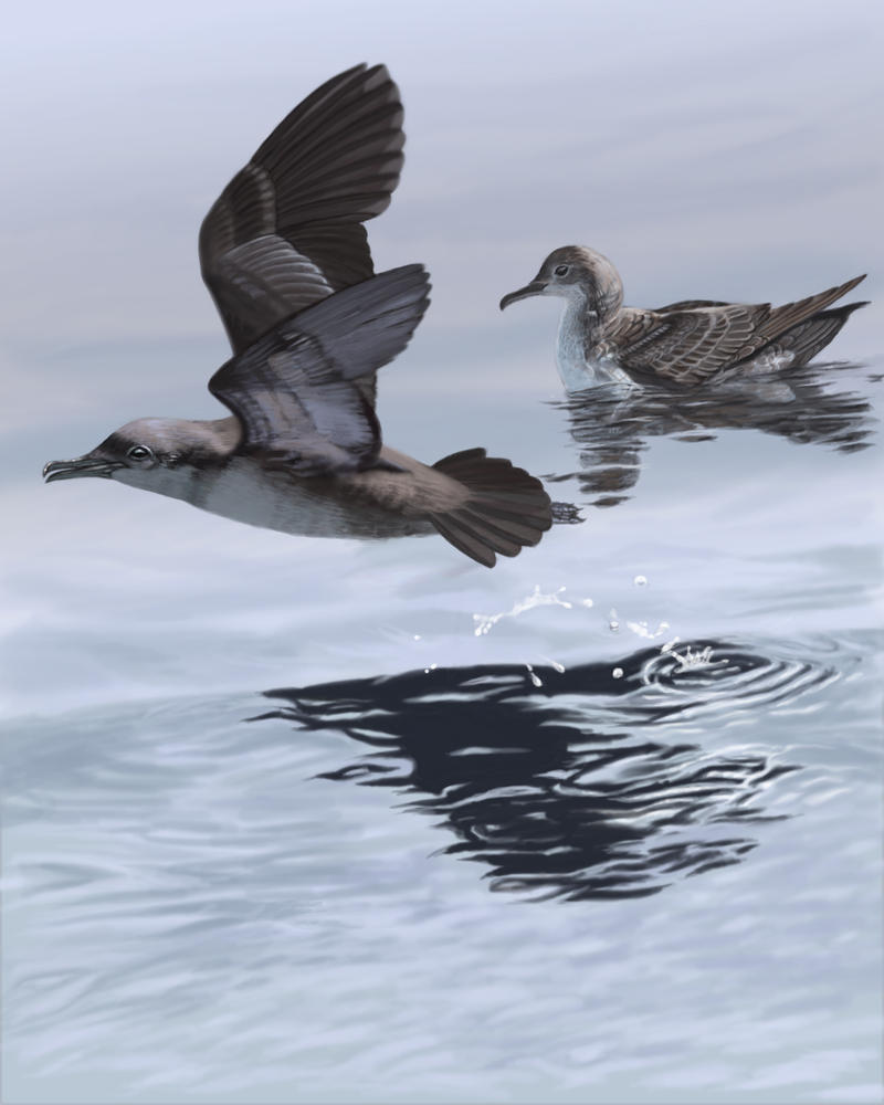 Balearic Shearwater by wildartguy