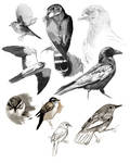Raptors and Warblers study