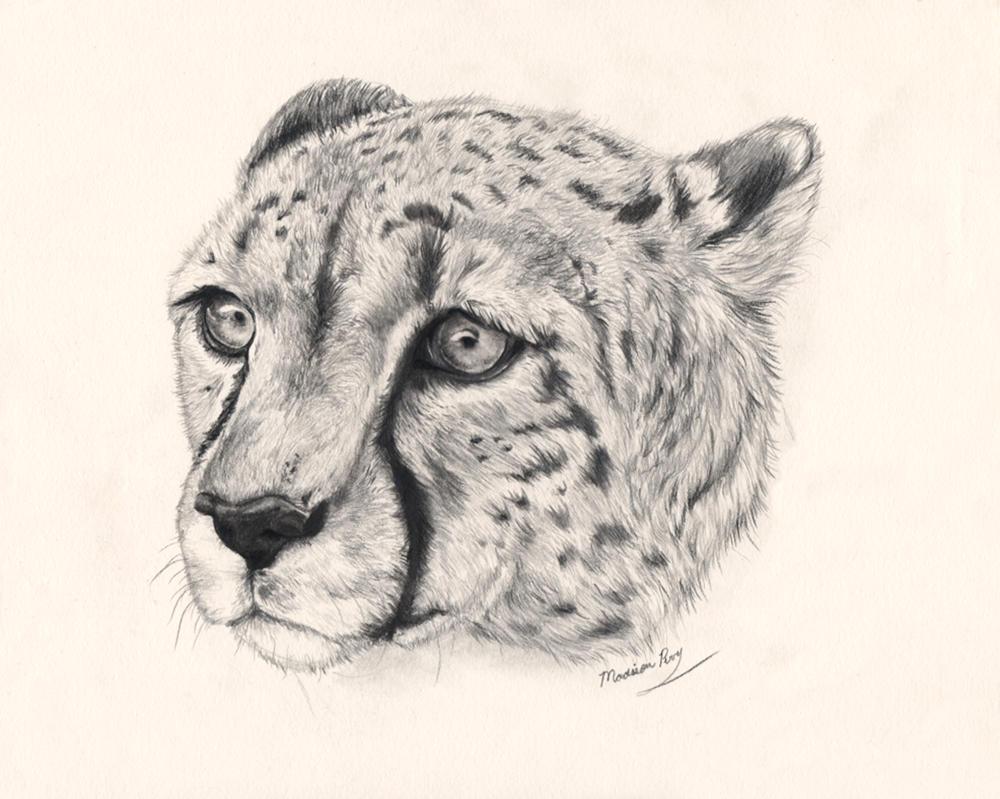 Cheetah sitting down drawing - photo#10