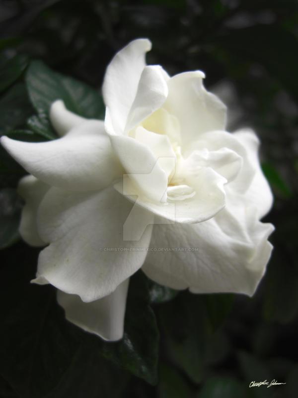Beautiful Gardenia 2 by ChristopherinMexico