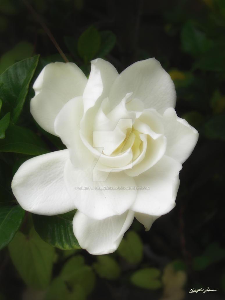 Beautiful Gardenia 3 by ChristopherinMexico