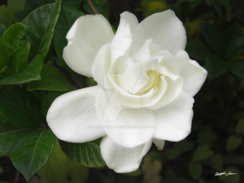Beautiful Gardenia 4 by ChristopherinMexico