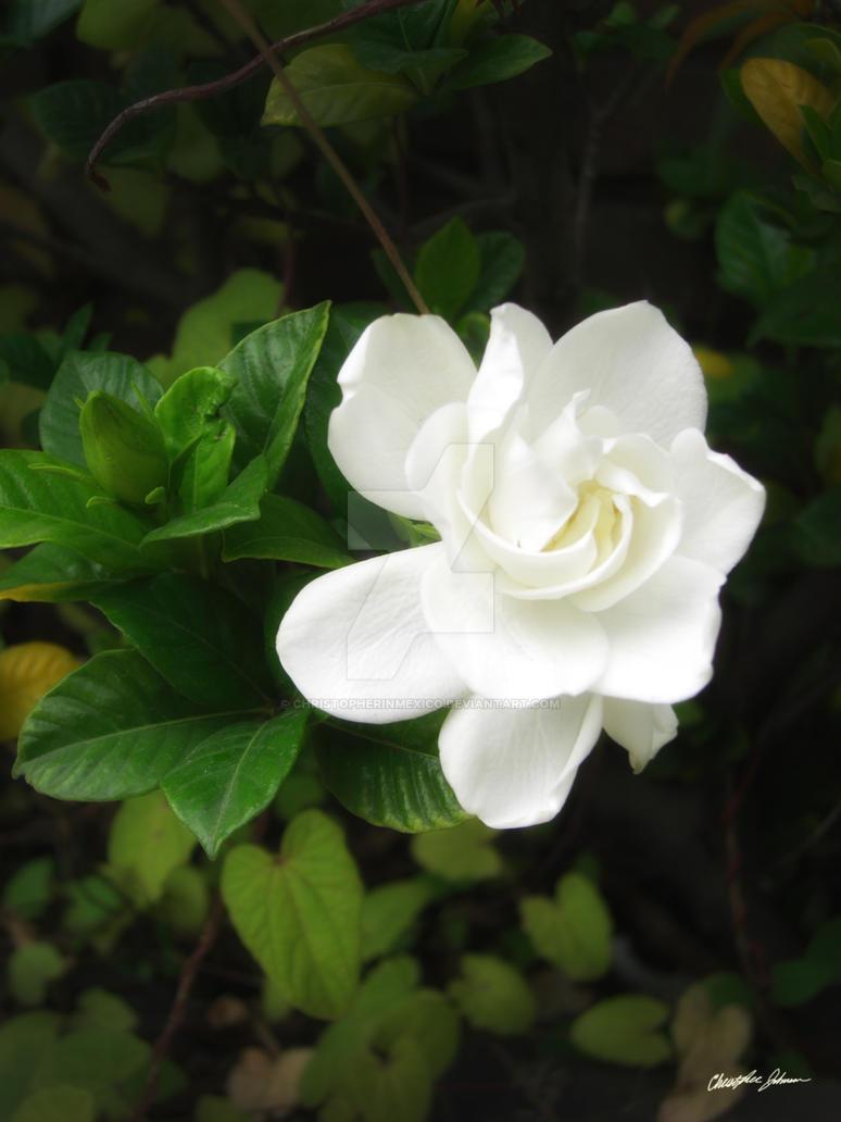 Beautiful Gardenia 5 by ChristopherinMexico