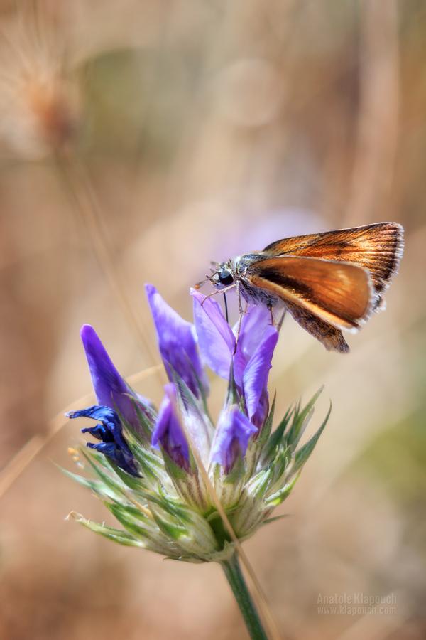 Farfalla by klapouch
