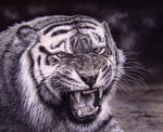 My Tiger, pastels charcoal