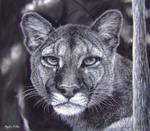 My Puma, Pastels and Charcoal