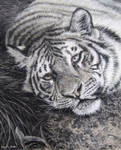 Tiger (pastels)