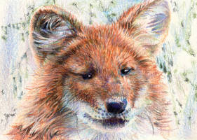 10.6 Dhole by theperian
